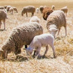 Australian Wool Industry Crisis 1990-91